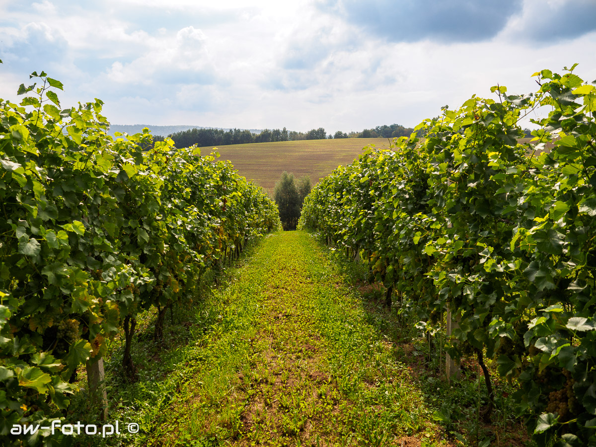 Winnica nad Dworskim Potokiem w Łazach - winorośl