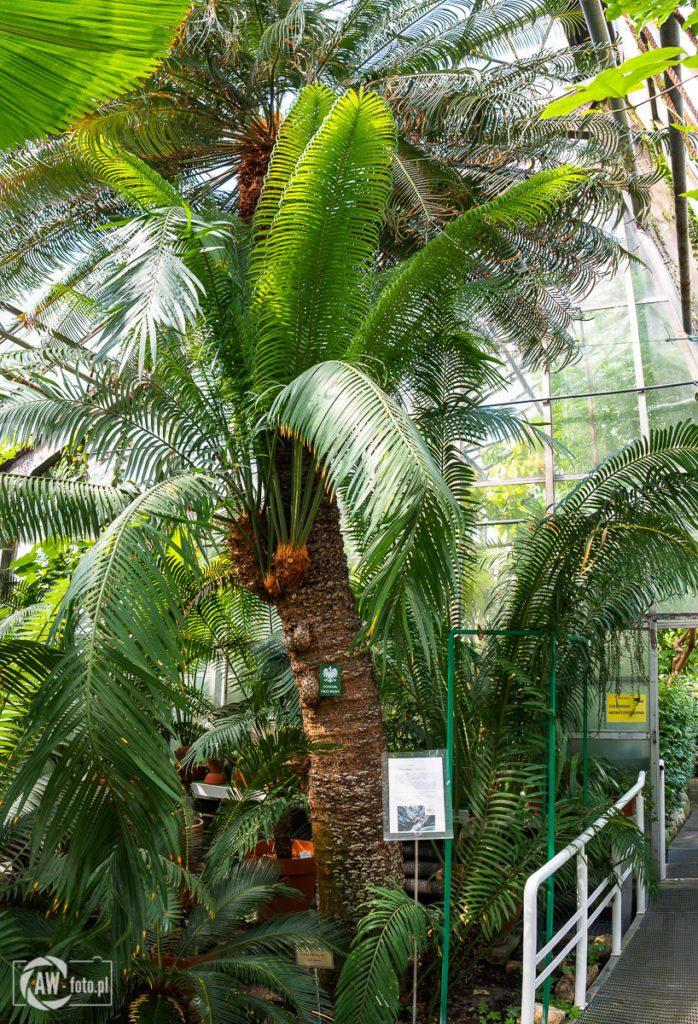 Ogród Botaniczny w Krakowie - pomnik przyrody - palma