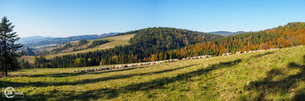 Panorama z Przełęczy Rozdziela na Rezerwat Białej Wody i wypasane stado owiec