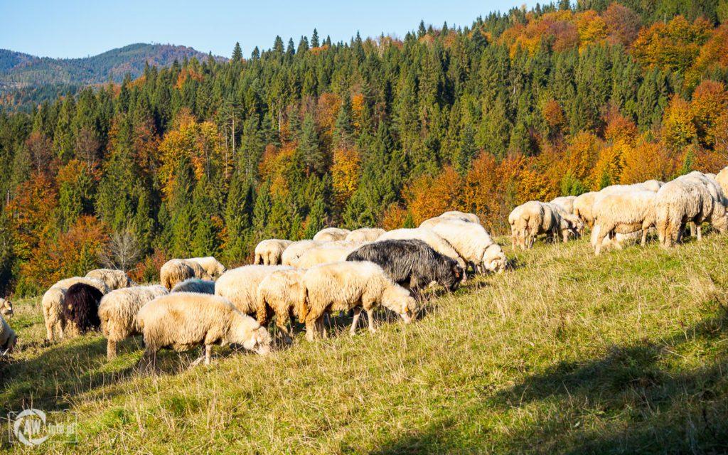 Rezerwat Biała Woda - stado owiec