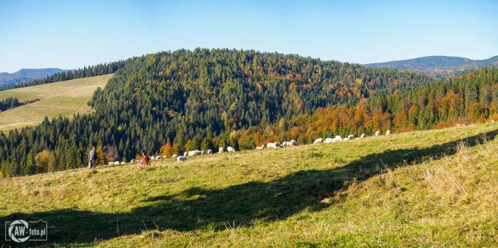 Widok z Przełęczy Rozdziela na wypasane owce